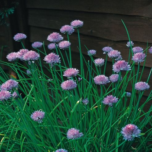 Chives - Standard - 600 seeds / 1200 seeds